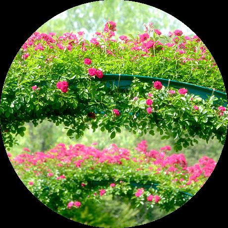 """写真:北川村「モネの庭」の """"Flowering Arches"""" そっくりの様子"""