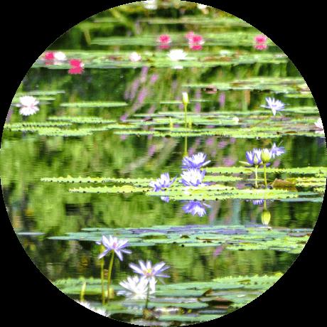 """写真:北川村「モネの庭」の """"Waterlilies"""" そっくりの様子"""