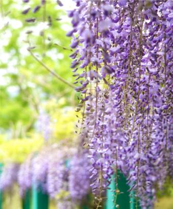 画像:藤の花